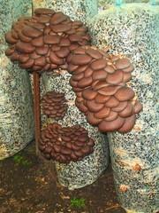 Грибные блоки Вешенка мицелий