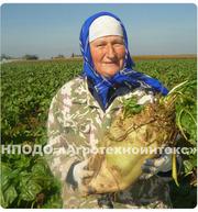 Семена кормовой свеклы сорт ЛАДА - корнеплоды до 25 кг!