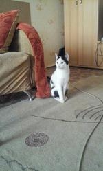 Молодой домашний кот,  чуть меньше года. Ищет хозяев