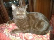 шотландская прямоухая щоколадного окраса кошка