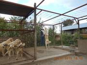 щенки среднеазиатской овчарки,  алабая,  5 мес,  от привозных родителей