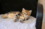 мраморные британские котята