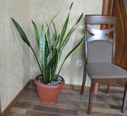Для офиса или дома яркое и большое растение Сансевиера трехполосая.