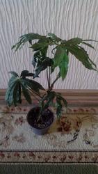 Антуриум.Anthurium polyschistum.