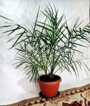 Большая,  финиковая пальма/ Пальме 10 лет