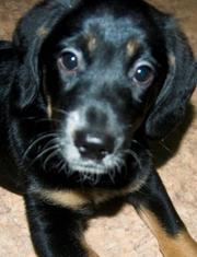 продается щенок русский охотничий спаниель 3 месяца