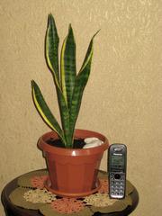 Популярное комнатное растение Сансевиерия или щучий хвост.