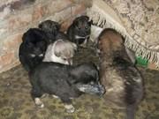 щеночки ищут дом