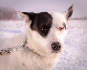 Собачка Аляска из приюта Хвостатый Рай