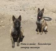 Продам элитных щенков бельгийских овчарок малинуа