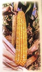 Семена кукурузы Машук 480 СВ