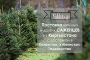 Поставки саженцев из Кыргызстана-Голубая Ель, Пихта и т.д.